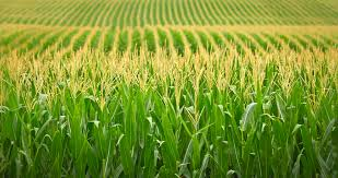 Agriculture Food and Cash Crop Products